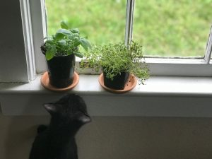 thyme and basil on a windowsill with a cat looking up