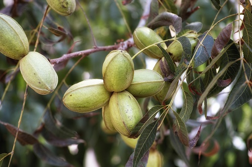 Young pecan nuts growing on a tree